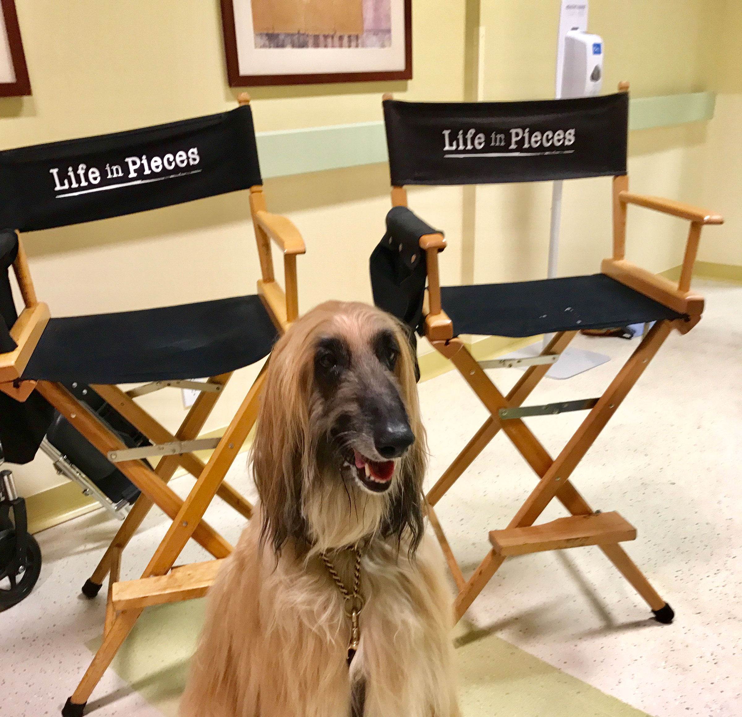 shai and adar  afghan hound actors based in southern california